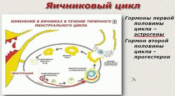 яичниковый цикл