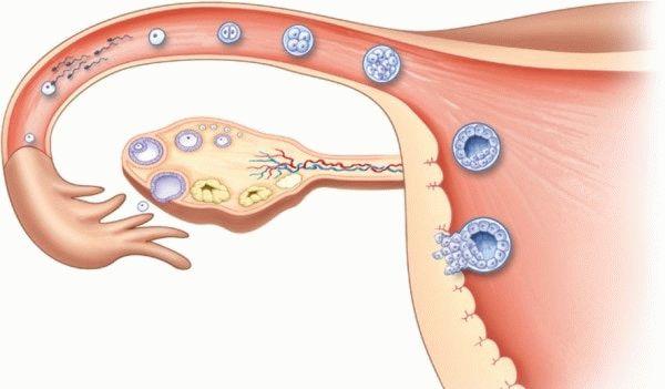 созревание и оплодотворение яйцеклетки