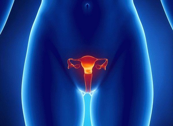 органы малого таза у женщины