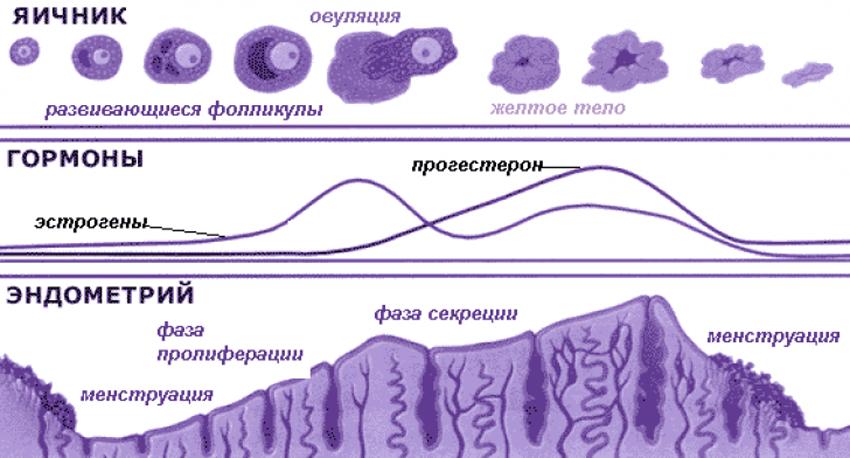 стадии развития эндометрия