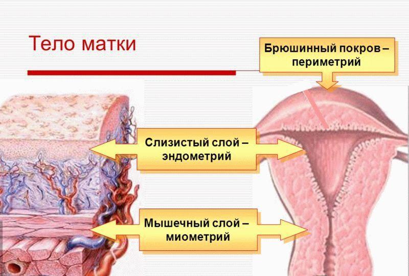 слои эндометрия