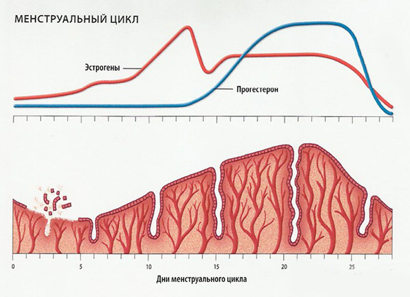 Эндометрий поздней стадии фазы пролиферации 24
